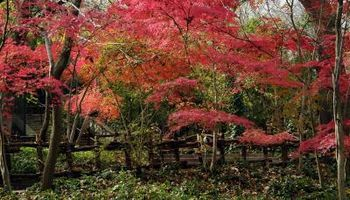 How to Clone a Japanese Maple thumbnail