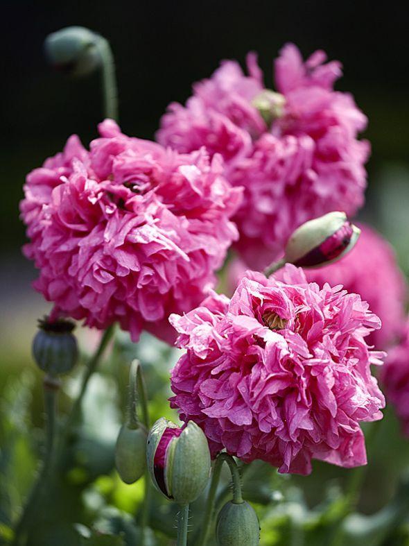 Versamt sich leicht: der Schlafmohn 'Purple Päony' (Papaver somniferum) mit seinen wunderschönen, ganz kraus gefüllten Blüten.