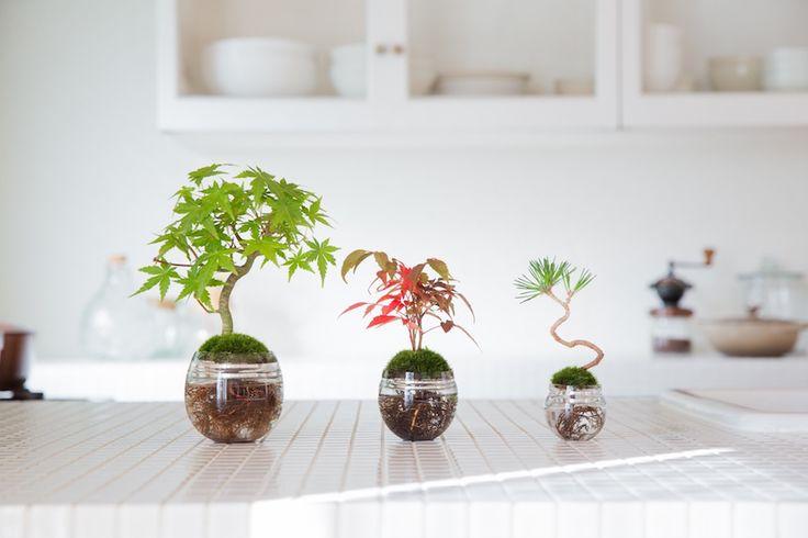 Aqua Bonsai, keeping Bonsai in water without any soil! #bonsai #japan