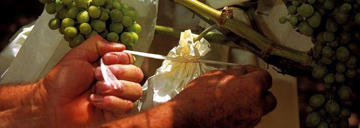 Raisin de table - C'est aux mois de juin et juillet les meilleures grappes de raisin sont sélectionnées et qu'elles sont recouvertes d'un sachet en papier de cellulose, qui est ensuite fermé par le pendule, et qui reste ouvert sur sa partie inférieure.