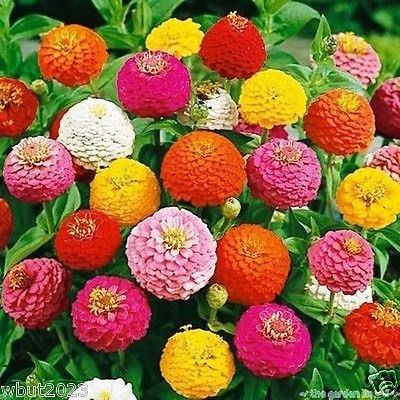 Zinnia Seeds (Zinnia Elegans Lilliput Mix) Hummingbirds love them -500 seeds