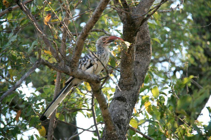 Red-billed hornbill | South Africa
