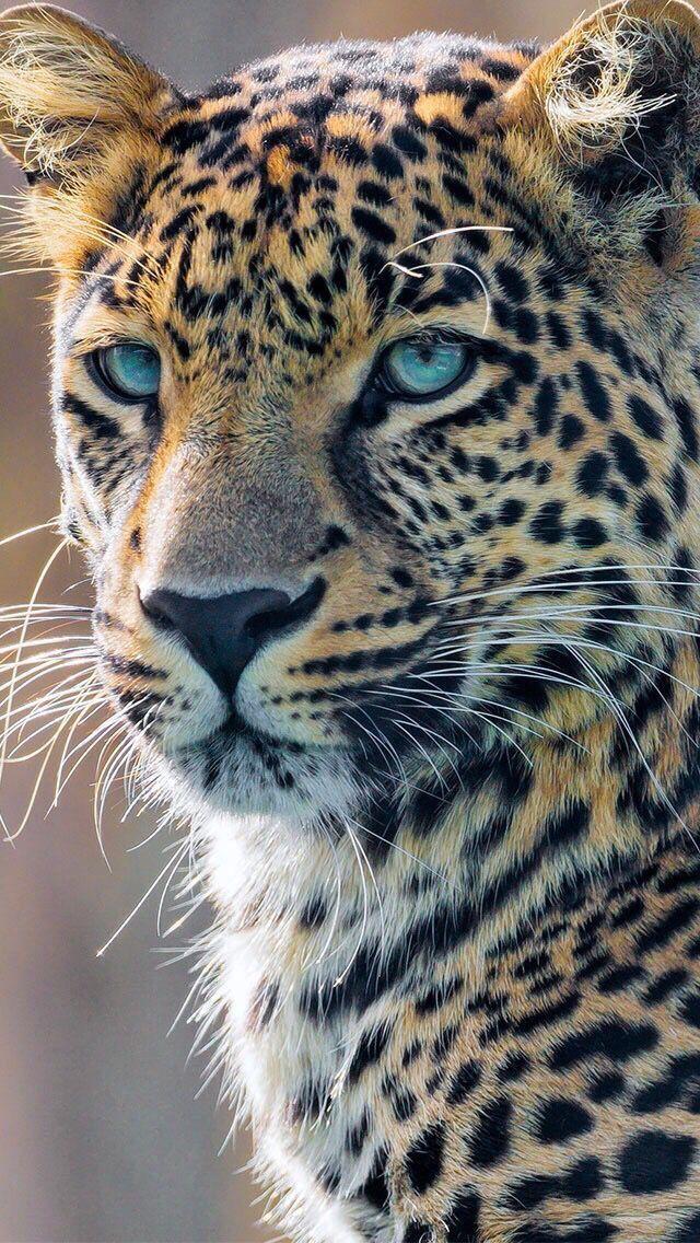 bela cabeça de um leopardo   – Großkatzen