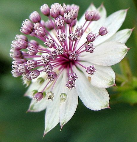 A hardy perennial 6-24 inches tall with the common name Masterwort.  Ideal plant for borders or cutting beds.    Flowers summer and autumn.  Needs full sunlight or light shade, rich soil, keep moist.