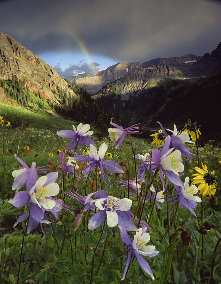 Colorado columbine and rainbow - Yankee Boy basin