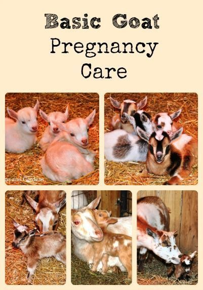 Describes the basic goat care needed during the three stages of pregnancy - breeding, early gestation, and late gestation - via Better Hens and Gardens
