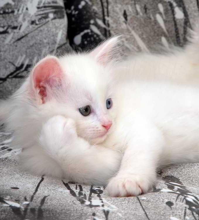 Foto Anak Kucing Anggora Asli