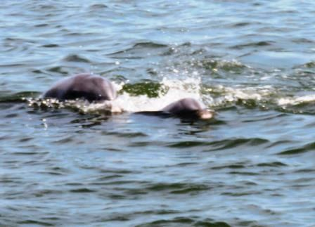 DOLPHINS! After a serene sail on the York River, four ladies aboard sited multiple pods of dolphins, way early from the usual mid-June arrival. Credit goes to climate change.