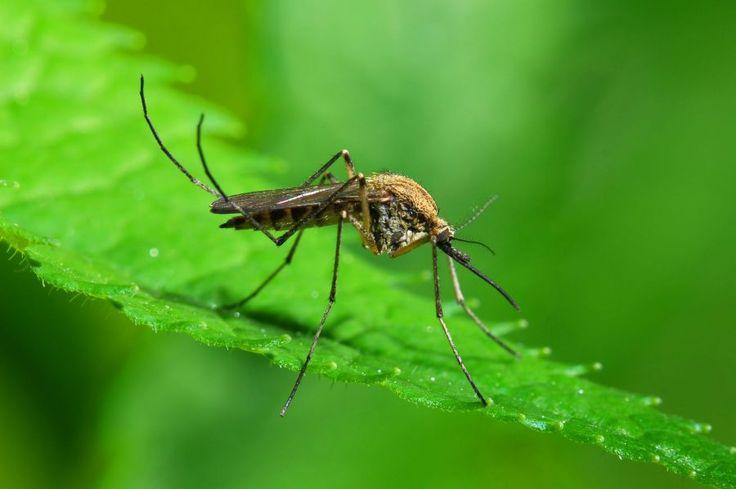 """Alimentos para repeler mosquitos y no ser """"sangre dulce"""""""