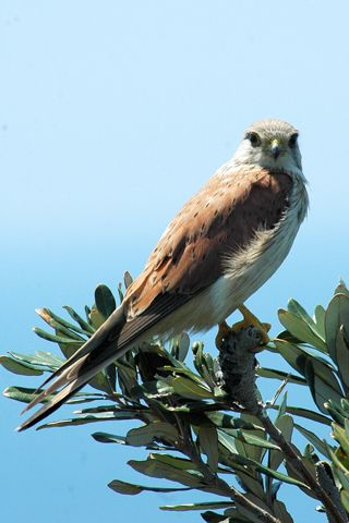 Click here for information on this Australian Nankeen Kestrel photo. You can buy handmade greeting cards with this photo for just $4.50 delivered. www.theshortcollection.com.au/Australian-Birds