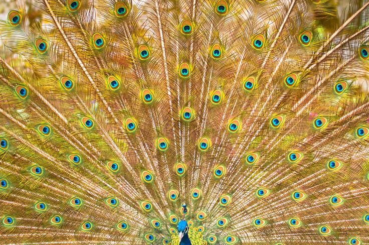 peafowl by Graziella Serra Art & Photo on 500px