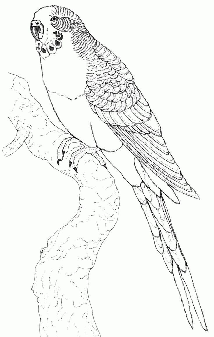 Fantastisch Malvorlage Papagei Kostenlos Kostenlos Herunterladen