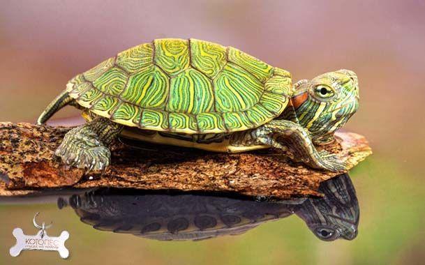 Домашняя красноухая черепаха