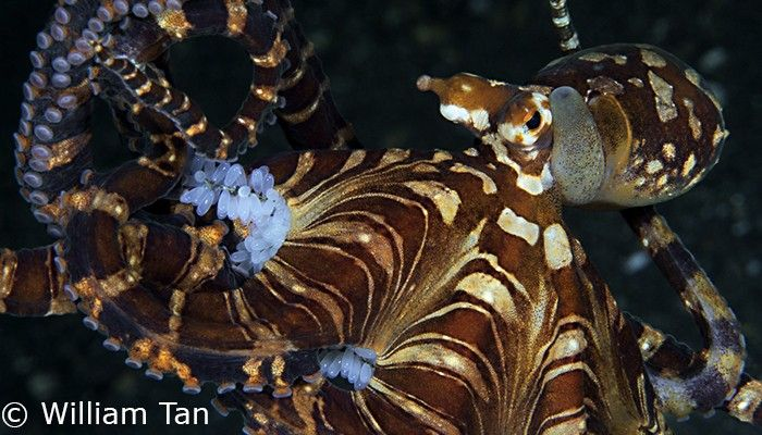 Mimic octopus with eggs by William Tan