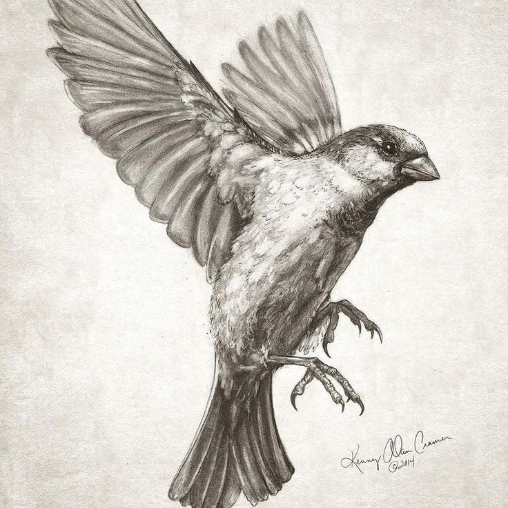 """Kenny Cramer on Twitter: """"Sparrow flying #drawing for new #artwork ..."""