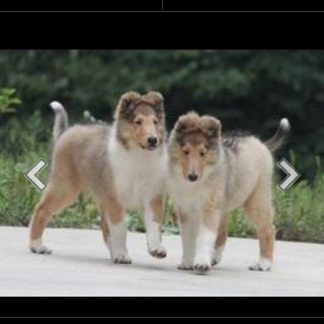 Pin By Molly Gilliam On Pets Rough Collie Collie Breeds Rough