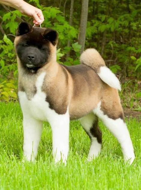 """Click visit site and Check out Cool """"Akita Dog"""" T-Shirts & Hoodies. This website is excellent.  Tip: You can type """"your first name"""" or """"your favorite shirts""""  by using search bar on the header.   #akita"""