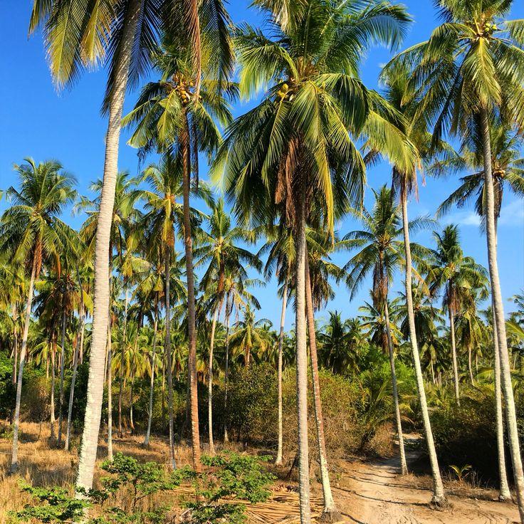 Palmtrees, Koh Yao Yai, Phuket, Thailand