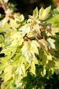 Acer pseudoplatanus 'Leat's Cottage' Klon jawor 'Leat's Cottage'
