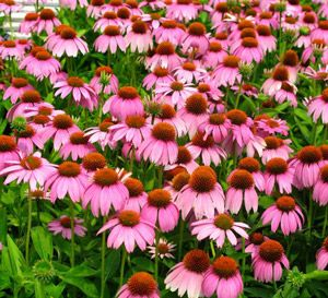 Large daisy-like flowers with drooping, pink petals surround a large orange button-shaped cone. Blooms appear earlier than other coneflowers. Brings power blooming to the border garden, capable of over 100 blooms on a mature plant.