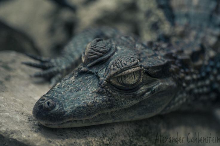 Lurking crocodile | por A.Cahlenstein Photography