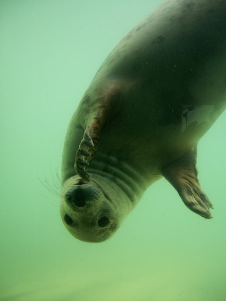 Gweek seal sanctuary Cornwall, UK