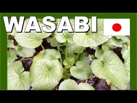 ▶ Japan Wasabi Farm - Walking in Japan 日本わさび農場 - 日本のモンスター - YouTube