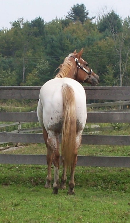 Appaloosa Horses for Sale | Imaginemeahoney, Appaloosa Mare in New York