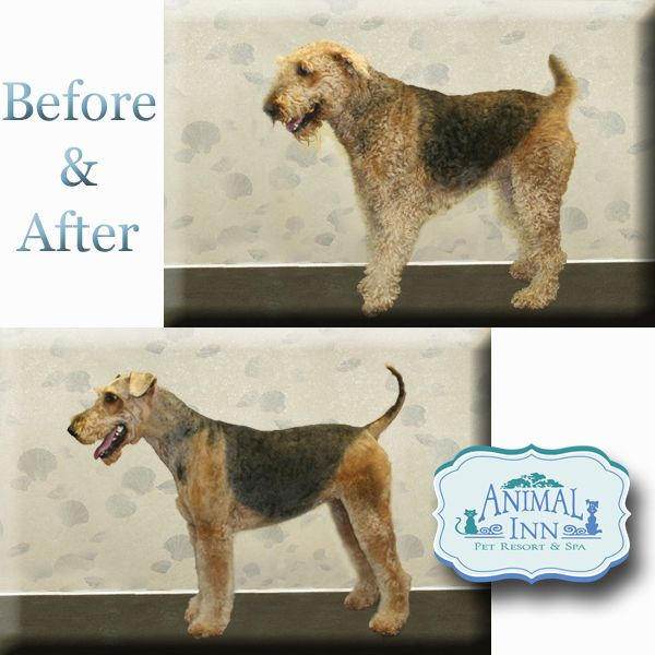 welsh terrier grooming instructions