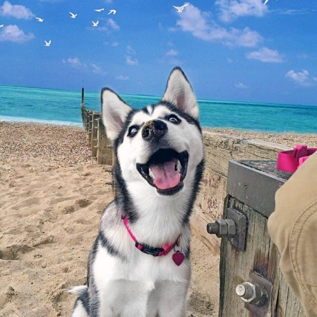 Смешные картинки с собаками хасками, для