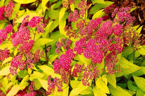 Спирея Spiraea japonica Goldflame