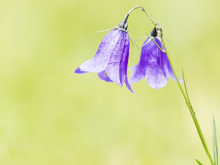 Sparkiling in the sun - Beautiful bellflowers (Campanula sp.) in the Romanian Carpathians