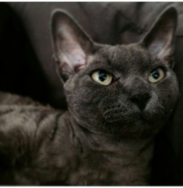 Devon Rex male Whimsy
