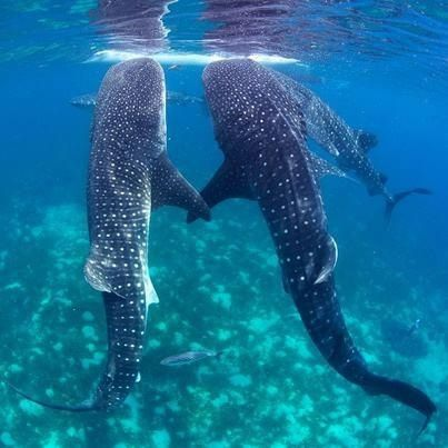 Whale Sharks Ningaloo. They love each other :) @Nicki Young this IS us.