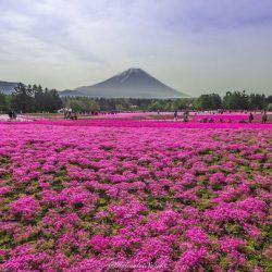 Les champs magenta au pied du mont Fuji