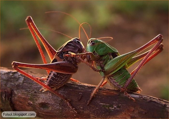 [the+best+close-up+pictures+ever+(13).jpg]: The Kiss, Knights, Bugs, Cricket, Crawler Macros, Comment, Macros Photography, Animal, Macros Phototast
