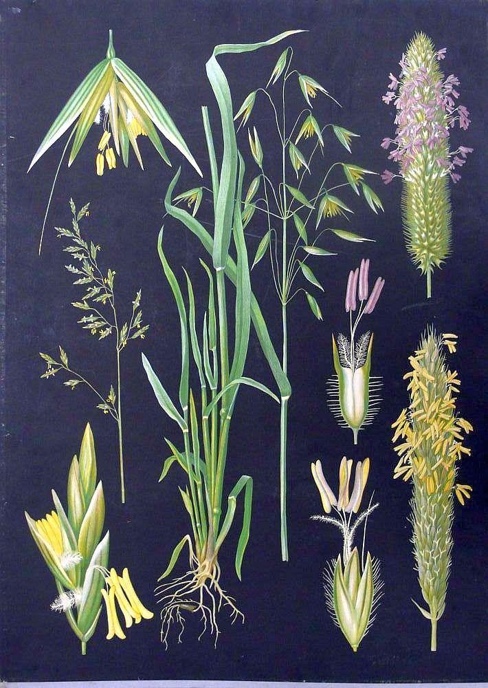 Heinäkasveja - Ebba Masalin Otavan kirjapaino 1914