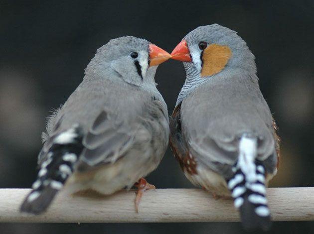 Zebrafinken zeigen den evolutionären Sinn der Liebe . . . http://www.grenzwissenschaft-aktuell.de/evolutionaerer-sinn-der-liebe20150916 . . . Abb.: MPI f. Ornithologie