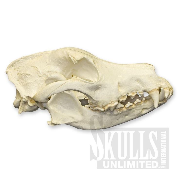 148 best images about dog osteology on pinterest wolves for Garcia s jewelry bench