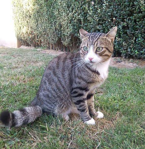 YOUKI, chat né en 2013, Roquebrune/A