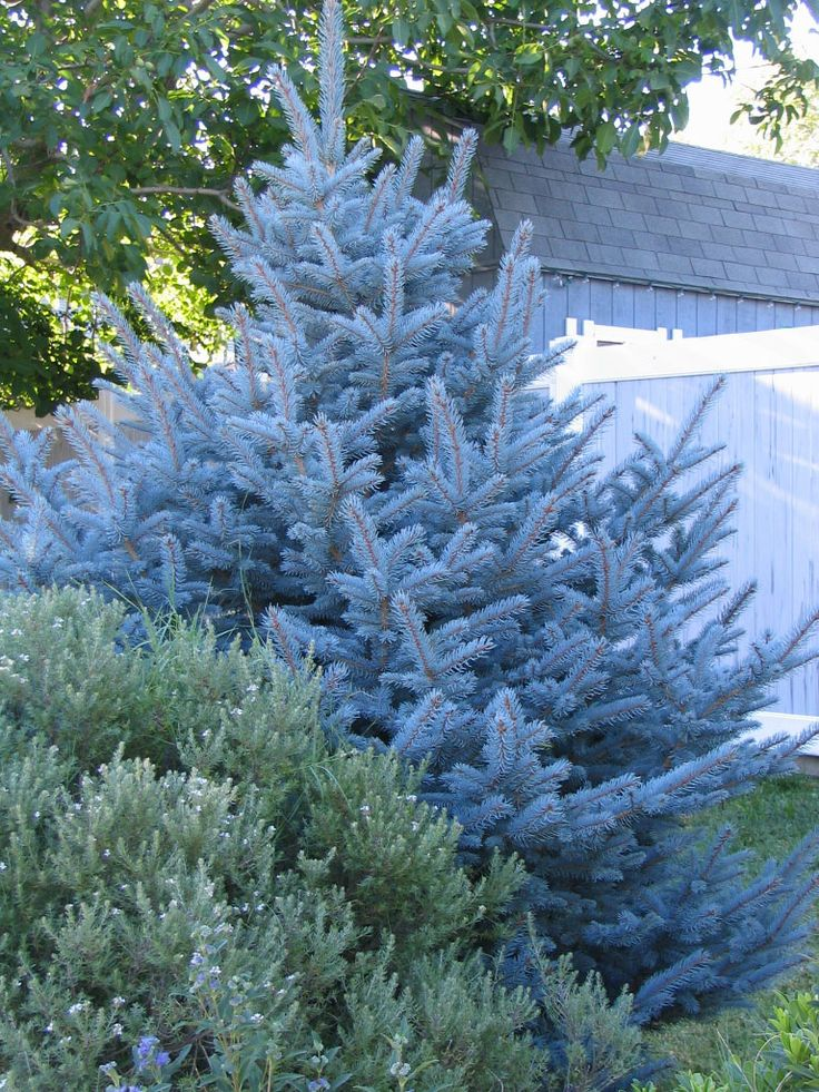 The 25 best blue spruce tree ideas on pinterest privacy for Slow growing trees for front yard