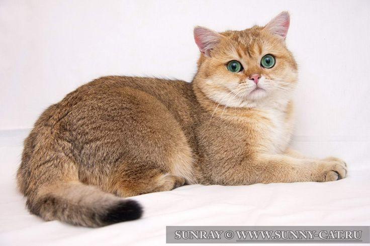 Британский кот Golden Garry v.Wahrberg