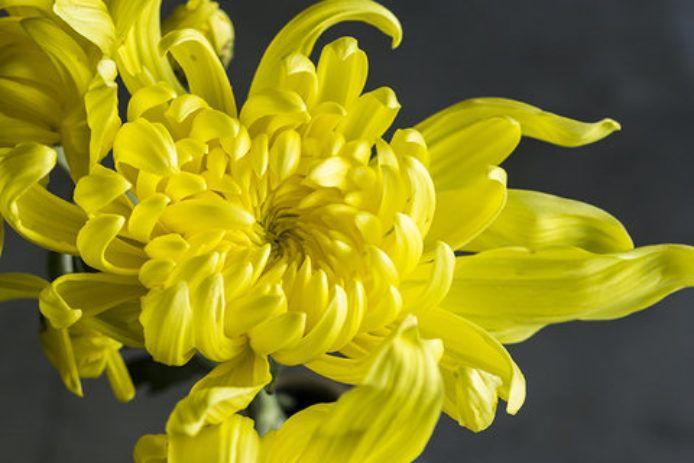 Chrysanthemum Elegant Symbolic Flowers For Autumn Bouquets Sunset Fall Bouquets Chrysanthemum Chrysanthemum Flower