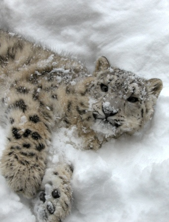You see this snow leopard. Well the snow leopards are endangered. If you want to see more please help save them.