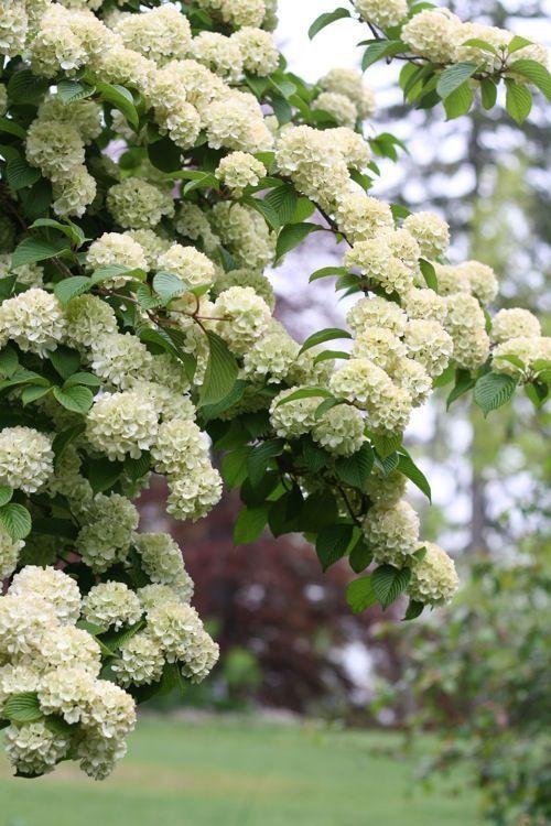 Viburnum (Snowball bush)