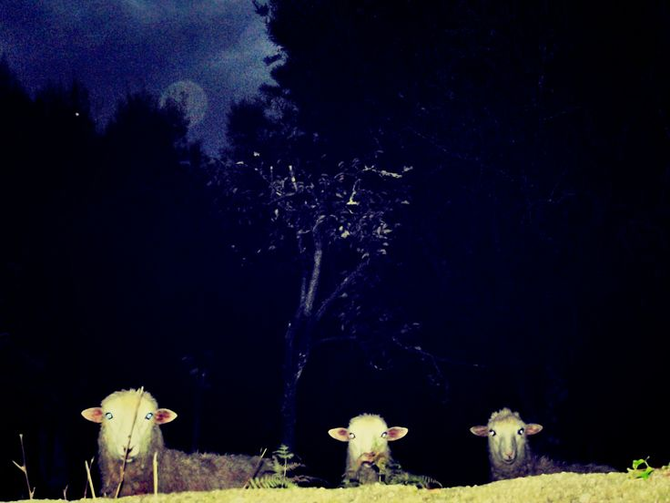 This is how a sheep looks like in the night after Halloween. :) (Where? Torre - Viana do Castelo - Portugal)