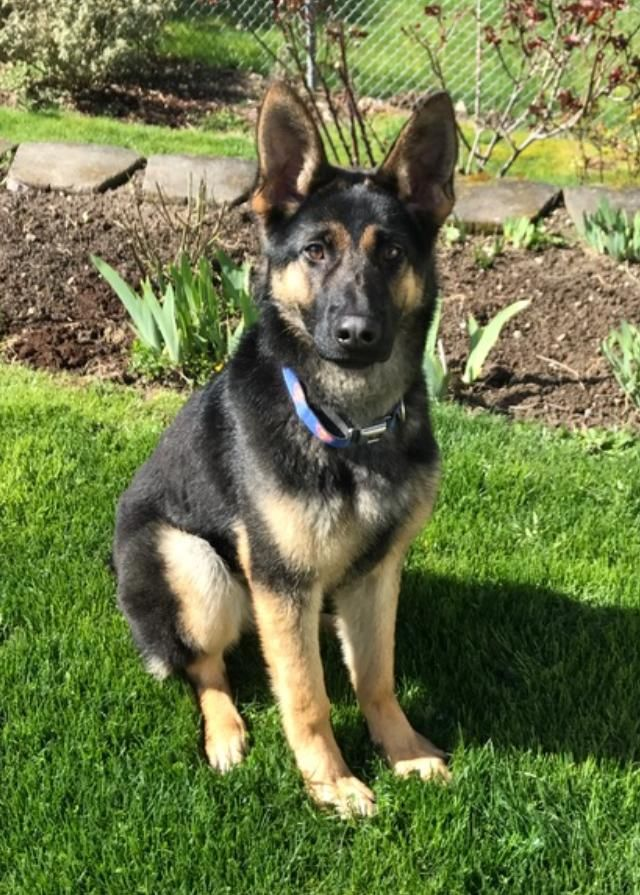 Meet Gretta, an adoptable German Shepherd Dog looking for a forever home. If you're looking for a new pet to adopt or want information on how to get involved with adoptable pets, Petfinder.com is a great resource.