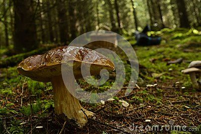 Delicious mushroom in natural habitat forest in Norway Closeup Food ingrediens cooking
