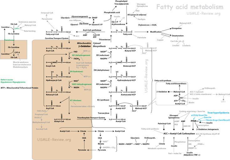 fatty acid metabolism, beta oxidation, biosynthesis