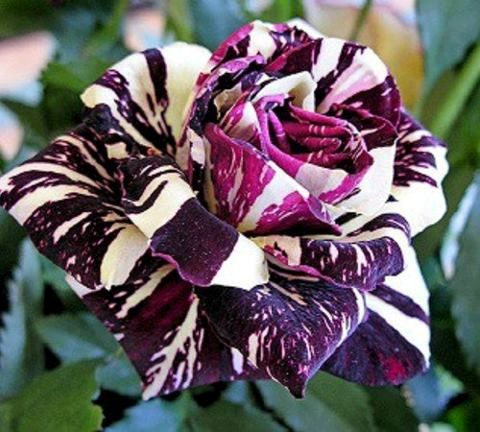 The Beautiful Black Dragon Rose ♥